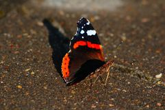 Butterfly urticaria meets sunset stock photo