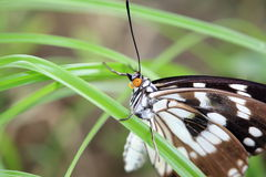 The Butterfly hold onto the grass Stock Image