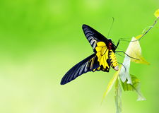Free Butterfly Holding On The Leaf And Green Natural Backgro Royalty Free Stock Images - 70499799