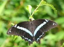Butterfly holding a plant. Butterfly with wings wide open holding a plant with green plant background Royalty Free Stock Image