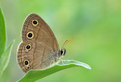 Butterfly on honeysuckle leaf. Little Wood Satyr perched on a green leaf royalty free stock images
