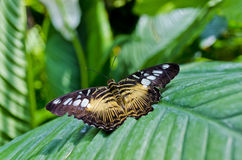 Butterfly House of Villa Garzoni - Lucca, Italy. Clipper butterfly or Parthenos sylvia in the butterfly House of Villa Garzoni in the village of Collodi in the Royalty Free Stock Photography
