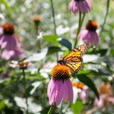 Butterfly hovering on Echinacea flower, Tobermory, Stock Image