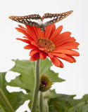 Butterfly Hovering Over Gerbera Stock Photo