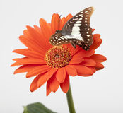 Butterfly Hovering Over Gerbera Royalty Free Stock Image