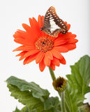 Butterfly Hovering Over Gerbera Stock Photos