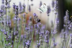 Butterfly hovers over lavender flowers stock image