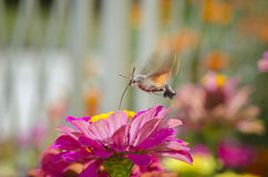 Butterfly hummingbird takes pollen Stock Photos
