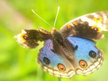 Hurt Close Up Butterfly Stock Images