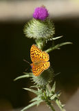Butterfly. Hydaspe fritillary butterfly, sitting on Canadian Royalty Free Stock Photography