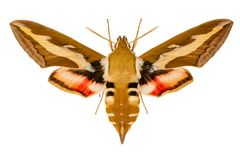 Butterfly Hyles gali on white background. Beautiful hairy colorful moth on a white background stock photography