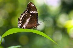 Butterfly Hypolimnas bolina Royalty Free Stock Photos