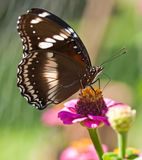 Butterfly Hypolimnas bolina Common Eggfly female Royalty Free Stock Photography