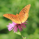 Butterfly. I just love to watch these peaceful beauties Royalty Free Stock Photos