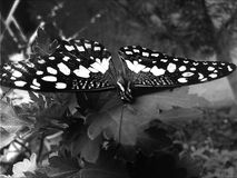 Black and white butterfly. Black and white photograph of a butterfly stock photo