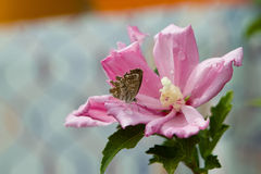 Butterfly on Ibiscus. After the rain a butterfly is resting on the petal of a hibiscus Stock Images