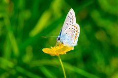 Butterfly Icarus blue on buttercup royalty free stock photography