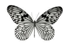Butterfly Idea durvillei. Isolated on white background Stock Photography
