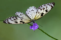 Butterfly (Idea Leuconoe) Royalty Free Stock Images