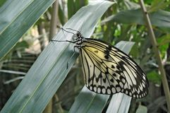 Butterfly idea leuconoe sitting on big green leaf. Macro picture.  stock images