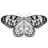 Butterfly Idea Leuconoe. Sketch of  Butterfly Royalty Free Stock Images
