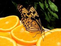 Butterfly Idea Levkonoya on orange. And dark background stock image