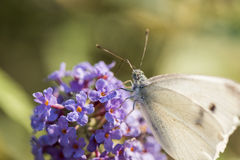 Butterfly II Stock Photography