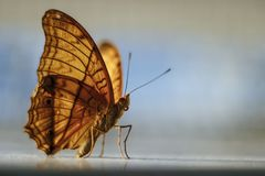 Butterfly illuminated by Sunlight stock photography