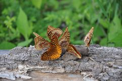 Butterfly. An image of a beautiful butterfly Stock Images