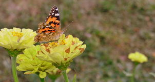 Butterfly. Image of an orange butterfly on a field yellow flower stock photo