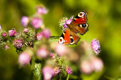 Butterfly  (Inachis io) Royalty Free Stock Images