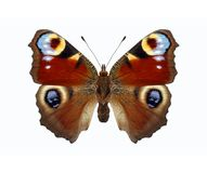 Butterfly. Inachis io. Butterfly, isolated on white background. (Inachis io Royalty Free Stock Image