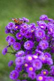 Butterfly Inachis io on purple flowers Royalty Free Stock Image