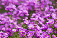 Butterfly Inachis io on purple flowers Royalty Free Stock Photo