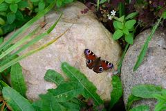 Butterfly Inachis io on the white stone Royalty Free Stock Photos