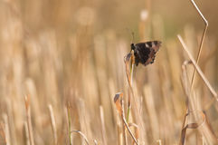 Butterfly inactive on straw Stock Images