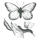 Butterfly ink drawing.Vector Stock Photo