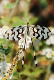Butterfly, Insect, Black, White Royalty Free Stock Photography