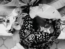 Butterfly black and white Stock Image