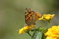 Butterfly and insect contending on a flower royalty free stock images