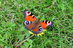 Butterfly, Insect, Invertebrate, Fauna royalty free stock photography