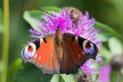 Butterfly, Insect, Moths And Butterflies, Brush Footed Butterfly