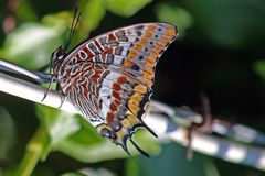 Butterfly, Insect, Moths And Butterflies, Invertebrate Royalty Free Stock Photos