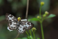 Butterfly, insect. Butterfly from the Taiwan Abraximorpha davidii White skipper butterfly royalty free stock photo