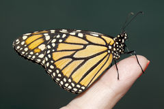 Butterfly interaction. Royalty Free Stock Image