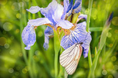 Butterfly on iris flower Royalty Free Stock Photography