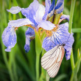 Butterfly on a iris flower Royalty Free Stock Photos