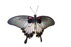 Butterfly isolated. A giant exotic butterfly isolated on white Royalty Free Stock Photos