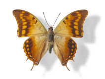 Butterfly isolated on white. Butterfly (Charaxes candiope) isolated on white background. Clipping path included Stock Images