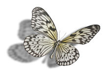 Butterfly isolated on white. Butterfly (Idea leuconoe, Paper Kite, Rice Paper, or Large Tree Nymph) isolated on white background. Clipping path included Royalty Free Stock Images